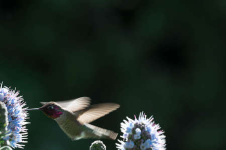 Pride of madeira flower close up shot with blurry background with blurry unfocused hummingbird while flying and trying to eat it's nectar. Macro image of small bird fast shutter