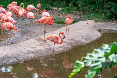 Flock of Pink Caribbean flamingos in a pond in Jurong Bird Park Singapore