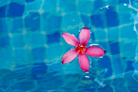 Pink flower closeup shot while floating on blue pool water Stock Photo