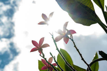 Pink flower on tree with sunny sky background