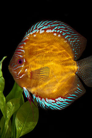 discus fish: Discus fish,  Stock Photo