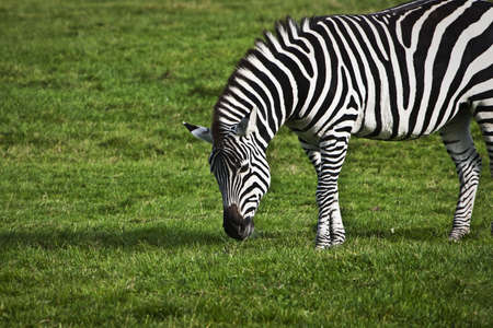 Zebra grazing on the grass