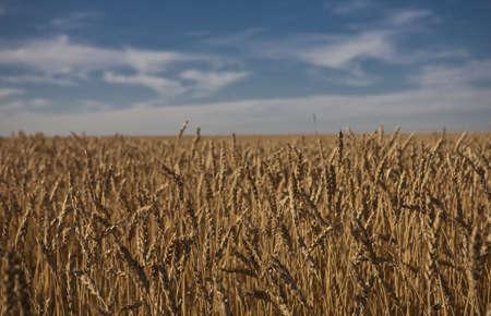 Wheat field in Alberta - Canada