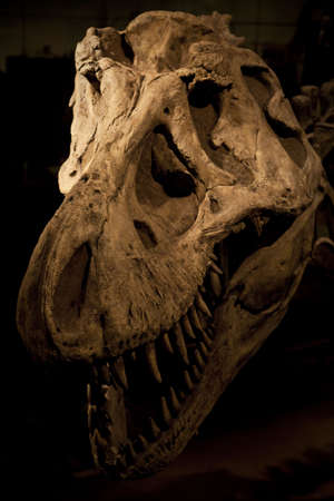 cold blooded: Fossilized skull of Tyrannosaurus Rex Stock Photo