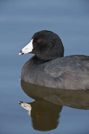 American Coot - Fulica americana Stock Photo