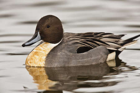 Northern Pintail duck - Anas acuta photo