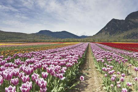Tulip Festival - Agasiz - British Columbia Stock Photo