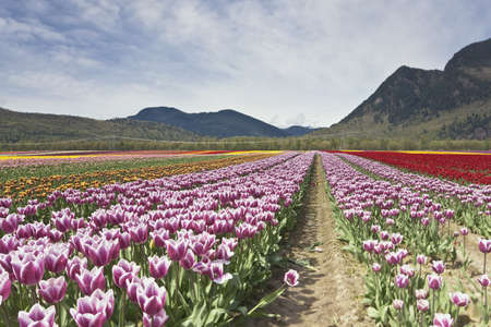 Tulip Festival - Agasiz - British Columbia Stock Photo