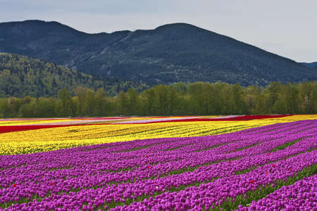 Tulip Festival - Agasiz - British Columbia photo