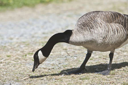 Canada Goose- Branta canadensis Stock Photo