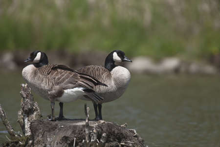 flocking: Pair of Canada Geese Stock Photo