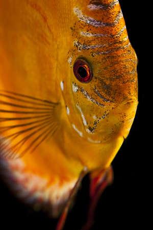 Discus fish - Symphysodon aequifasciatus photo