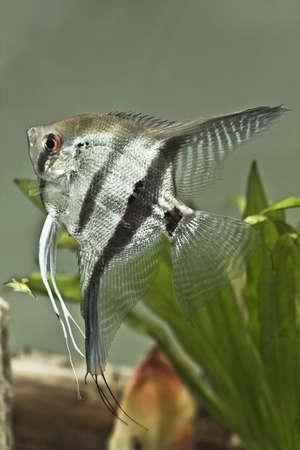 Agua dulce peces Angel - Pterophyllum scalare  Foto de archivo - 7140398