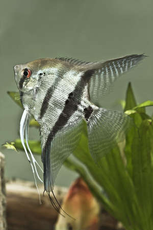 Fresh water Angel fish - Pterophyllum scalare Stock Photo - 7140398