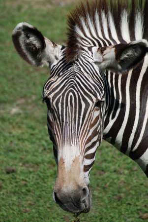 Zebra Head Banco de Imagens