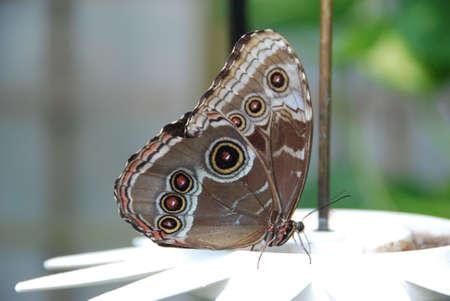 フィーダーの壮大な翼を持つ蝶します。 写真素材