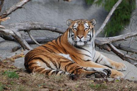 tiger reclining