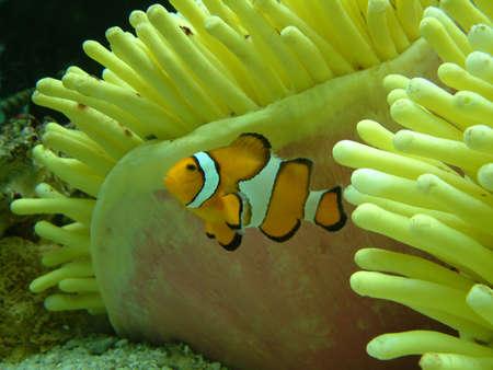 clown fish: Clown Fish in Anemonie