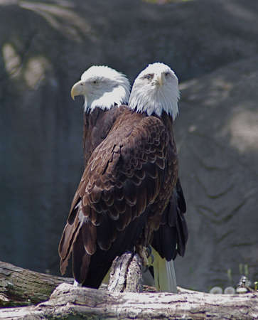 talons: Two Bald Eagles