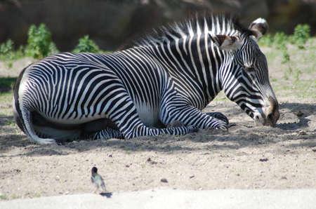 Zebra reclining