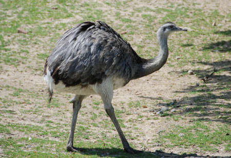 greater: Greater Rhea