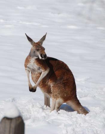 Kangaroo in snow Imagens