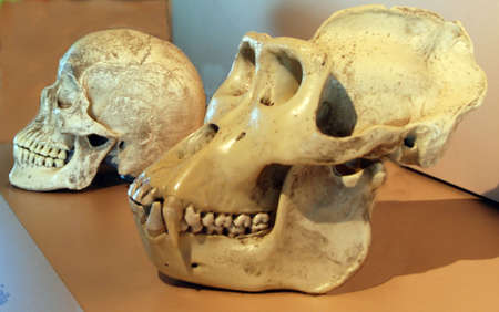 molares: Cr�neo humano y gorila cr�neo con saturaci�n camino