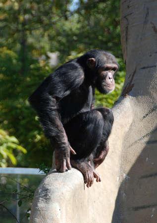 Chimpanzee sitting on a large branch