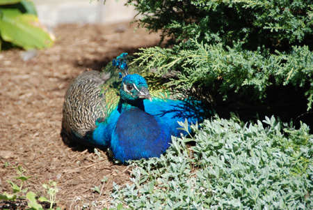 Peacock resting under bush