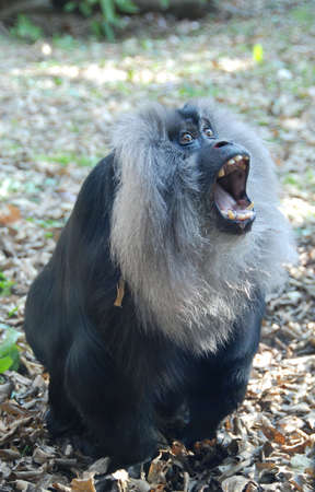 Lion-maned macaque