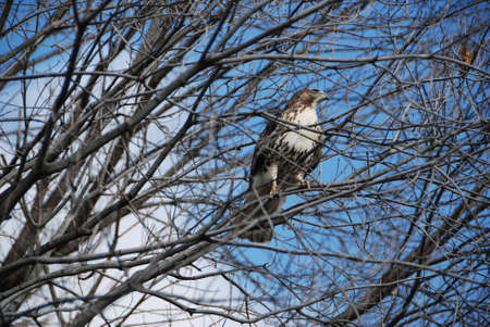 red tailed hawk: Red Tailed Hawk in Tree Stock Photo
