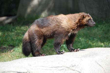 weasel: Wolverine, Michigan State Animal