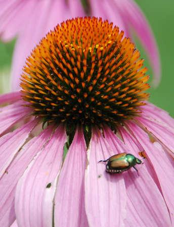 Beetle on pink flower petals