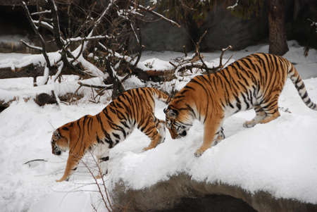 Two Tigers walking in the snow photo