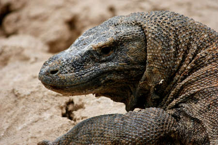 an almost extinct komodo in indonesia photo