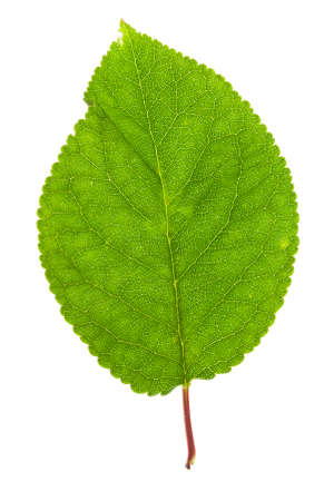 eos: leaf in high resolution on white background