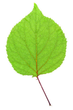 eos: leaf in high resolution on a white background