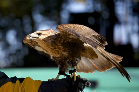 Fearless harris hawk Banque d'images