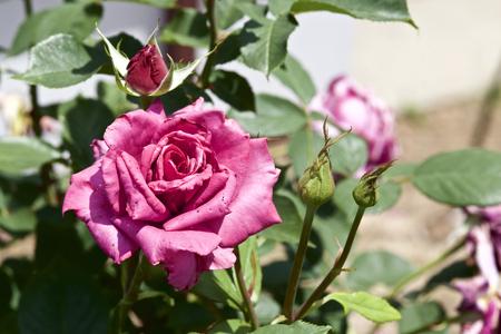 Rose in garden Banco de Imagens