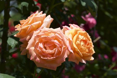 Rose in garden 스톡 콘텐츠