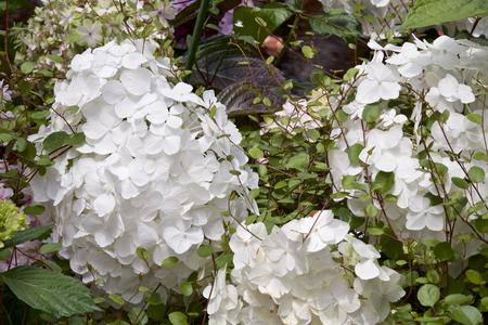 Hydrangea in garden Banque d'images