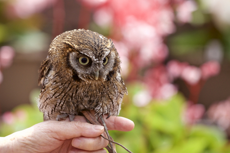 Tropical Screech owl Stock Photo