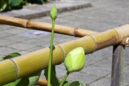Floral bud of lotus