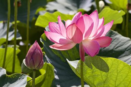 Lotus which shines Stok Fotoğraf