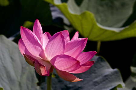 Lotus which shines Stock Photo