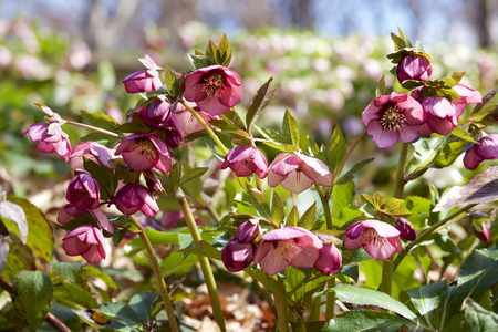 Red hellebores flowers in the forest Stock fotó - 97464095