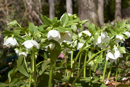 White hellebores flowers in the forest Banco de Imagens