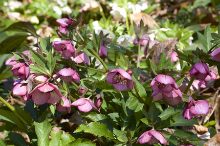 Red hellebores flowers in the forest