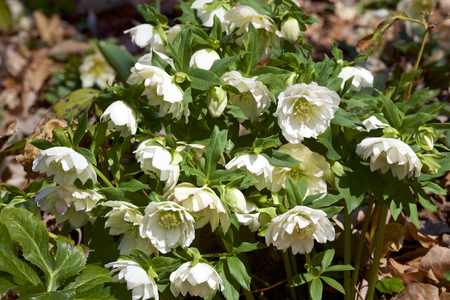 White hellebores flowers in the forest Stock fotó