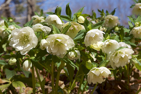White hellebores flowers in the forest Imagens